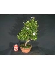 Gardenia Jasminoides 48x37x5,5 cm
