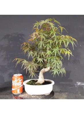 Acer Palmatum Seigai 1 Bonsai Online