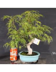 Acer Palmatum disecctum 1