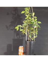 Trachelospermum jasminoides (se envia uno al azar)