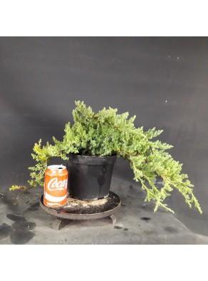 Juniperus Procumbens Nana Grande (se envia uno al azar)
