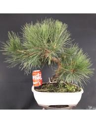 Pinus Tumbergii 9