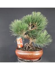 Pinus Tumbergii 12