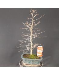 Carpinus laxiflora 1