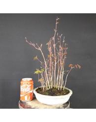 Bosque acer palmatum 3