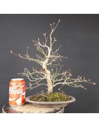 Acer Palmatum Nomura 1