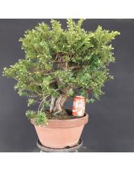 Taxus Cuspidata 1