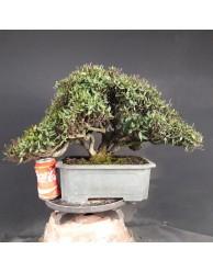 Trachelospermum asiaticum 1