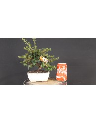 Cotoneaster 7