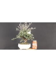 Cotoneaster franchetti 1