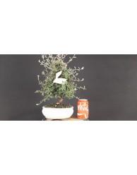 Cotoneaster franchetti 2