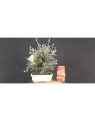Cotoneaster franchetti 3