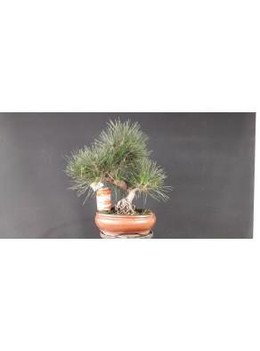 Pinus Tumbergii 14