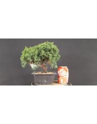 juniperus chinensis kishu 39