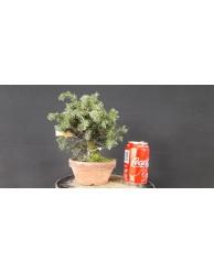 juniperus rigida 2
