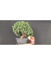 juniperus chinensis kishu 35