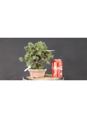 juniperus rigida 14