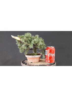 juniperus rigida 15