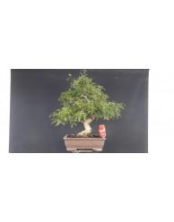 Zanthoxylum Piperitum 2