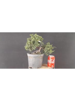 Juniperus Chinensis 8