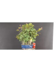 Bosque acer palmatum yamamomiji 4