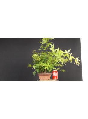 Bosque acer palmatum yamamomiji 5