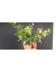 Bosque acer palmatum yamamomiji 7