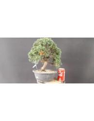 juniperus chinensis kishu 20
