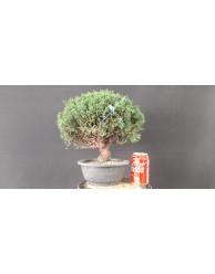 juniperus chinensis kishu 23