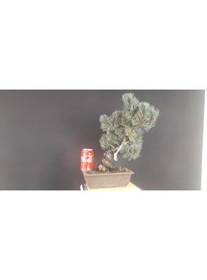 Pinus Pentaphylla 12